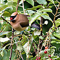 Waxwing Meal by Cheryl Baxter
