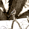 Waxwing Perched by Susan Arthur