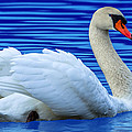 Wayward Swan 2 by Brian Stevens