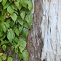 Weathered Tree Trunk With Vines by Debbie Portwood