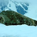 Weddell Seal by Amanda Stadther