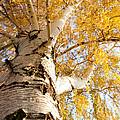 Weeping Birch In Autumn by Cindy Singleton