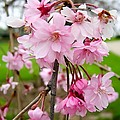 Weeping Cherry Blossoms by Cynthia Woods
