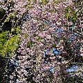 Weeping Cherry Tree by Julie Andel