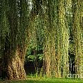 Weeping Willow by Gary Richards