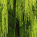Weeping Willow Tree Enchantment  by Carol F Austin
