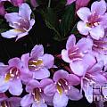 Weigela Blossoms by William Norton