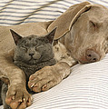 Weimaraner Asleep With Cat by John Daniels