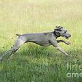 Weimaraner Dog Running by John Daniels
