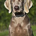 Weimaraner Hunting Dog by Johan De Meester