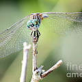 Welcome To My World Dragonfly by Carol Groenen