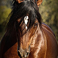 Welsh Cob Stallion by Wes and Dotty Weber