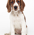 Welsh Springer Spaniel Dog by John Daniels