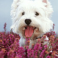 West Highland Terrier Dog In Heather by John Daniels