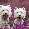 West Highland Terrier Dogs In Heather by John Daniels