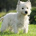 West Highland White Terrier by Johan De Meester
