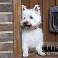 West Highland White Terrier by John Daniels