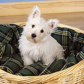 West Highland White Terrier Puppy by John Daniels