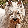 West Highland White Terrier by Robert L Jackson
