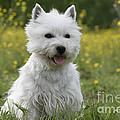 West Highland White Terrier by Rolf Kopfle