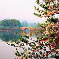 West Lake Blossums by Dennis Cox