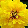 West Virginia Marigold by Melissa Petrey