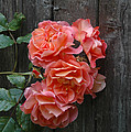 Westerland Rose Wood Fence by Tom Wurl