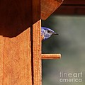 Western Bluebird At Nest by Bob and Jan Shriner