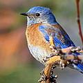 Western Bluebird Profile by Ron D Johnson