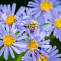 Western Daisies Asters Glacier National Park by Rich Franco