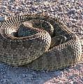 Western Dakota Prairie Rattlesnake by Marion Muhm