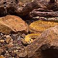 Western Diamondback Rattlesnake 2 by Douglas Barnett