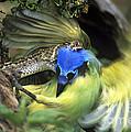 Western Diamondback Rattlesnake Striking Green Jay by Dave Welling