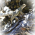 Western Fence Lizard Aka Blue-belly Lizard by Her Arts Desire