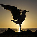 Western Gull At Sunset California by Hiroya Minakuchi