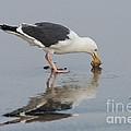 Western Gull Eats Clam by Anthony Mercieca