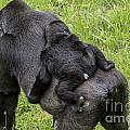 Western Lowland Gorilla 1 by Arterra Picture Library