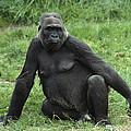 Western Lowland Gorilla Female by Gerry Ellis