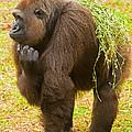 Western Lowland Gorilla Female by Millard H. Sharp