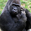 Western Lowland Gorilla by Ken Keener