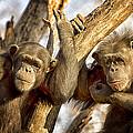 Western Lowland Gorillas by Linda Tiepelman