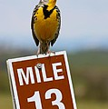 Western Meadowlark On The Mile 13 Sign by Karon Melillo DeVega