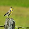 Western Meadowlark by Tony Beck