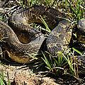Western Plains Hognose Snake by Karen Slagle