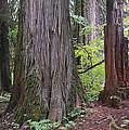 Western Red Cedar Grove by Tim Fitzharris