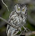Western Screech Owl by Anthony Mercieca