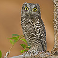 Western Screech Owl Juvenile Utah by Tom Vezo
