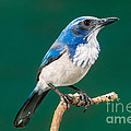 Western Scrub Jay by Anthony Mercieca