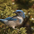 Western Scrub Jay by James Peterson