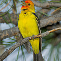 Western Tanager Singing by Anthony Mercieca
